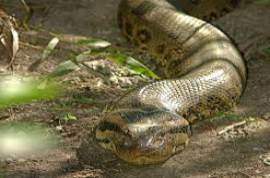 anaconda torrent download